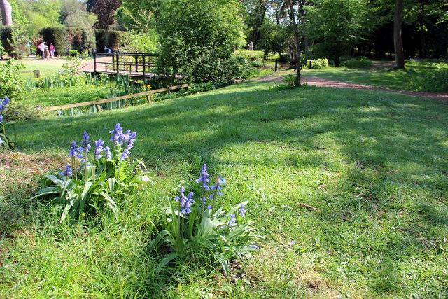 Bluebells, Knebworth House, Hertfordshire