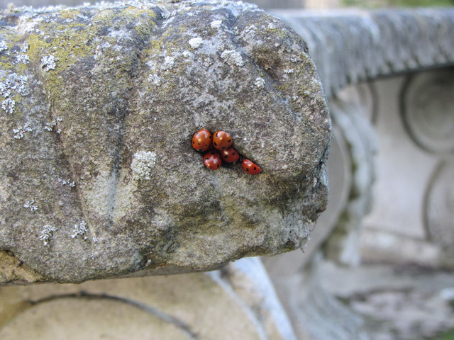 Ladybirds sheltering on stone bench