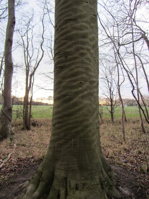 'Rippled' tree bark at Landwade (north-facing)