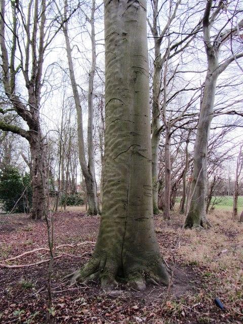'Rippled' tree bark at Landwade (west-facing)