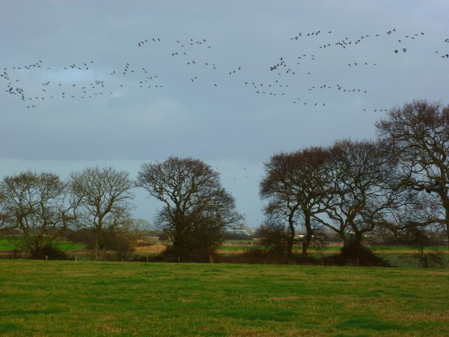 A flight of Brent geese