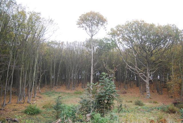 Calfs Wood