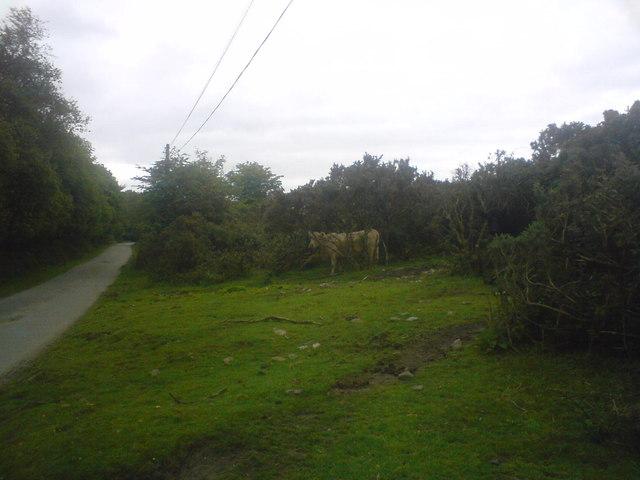Cow in the bush