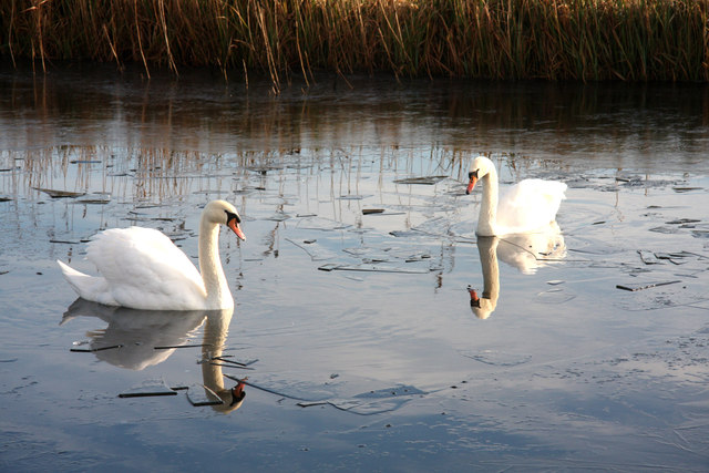 Swans on the Old Bedford River