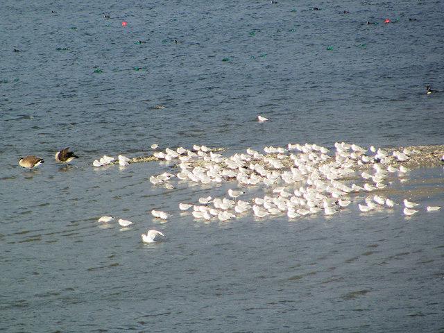Black Headed Gulls on Temporary Island, Startops Reservoir
