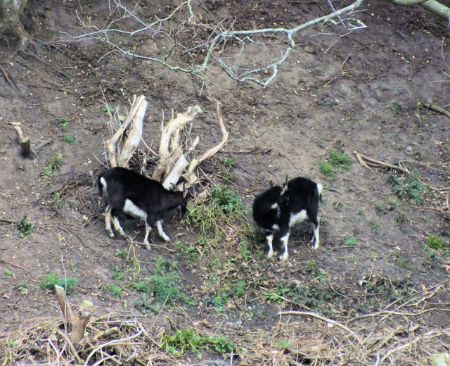 Goats on the Undercliff