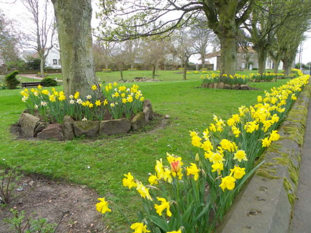 Daffodils in the park, Crail