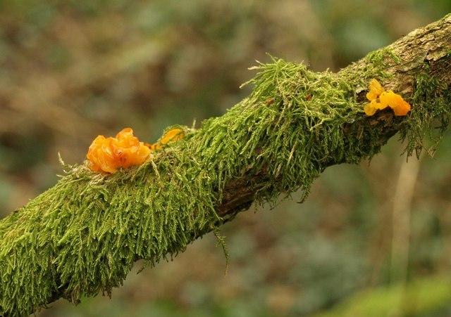 Jelly fungus, South Moor Plantation