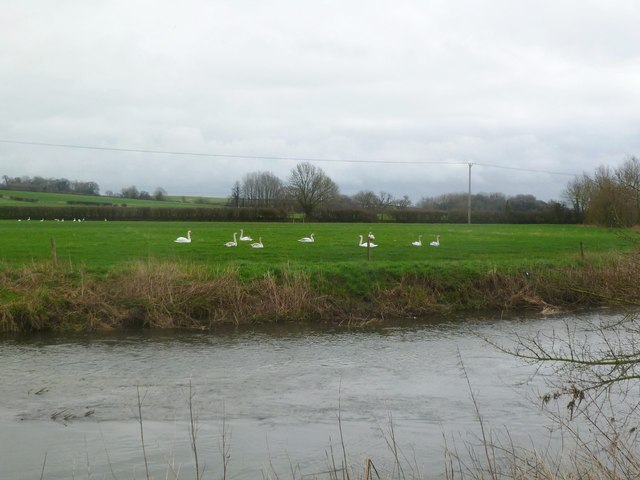 Spetisbury, swans