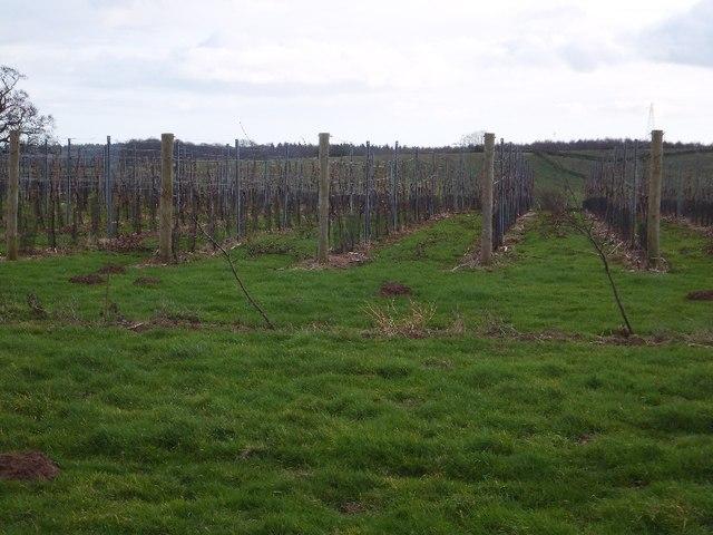 Vines at Kenton Vineyard