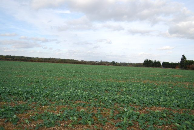 Root crop, New Barn Farm