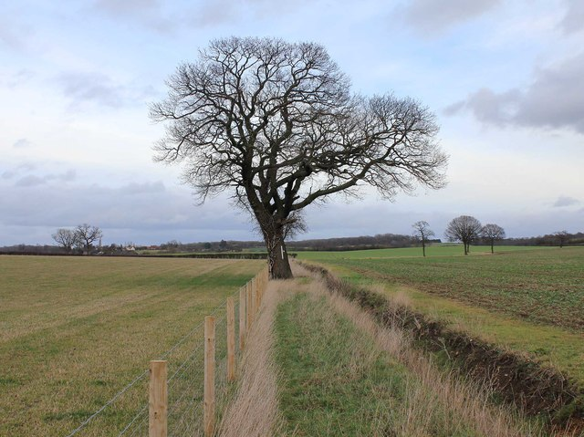 Tree by footpath to Bearley