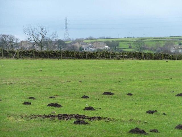 Molehills in Bradford 15