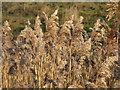 SE4301 : Bullrushes blowing by Dave Pickersgill