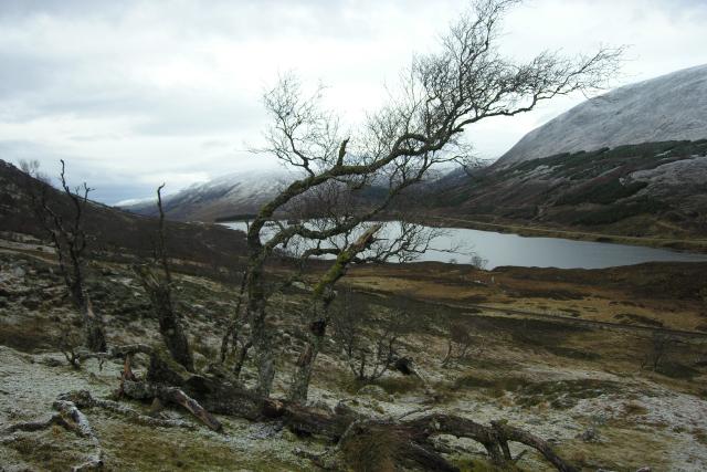Silver birches below Coille Mhoruisge