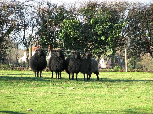 Hebridean sheep in pasture on Cherryground, Hintlesham