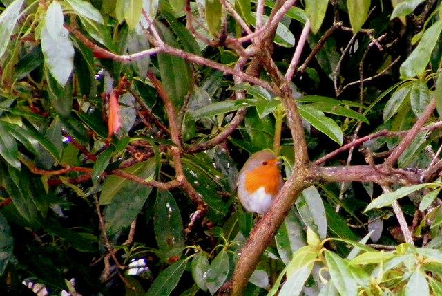 A Robin at Advie Churchyard