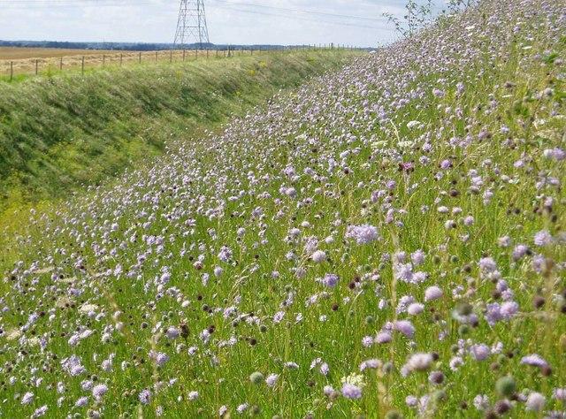 Wildflowers on Devil's Ditch, Burwell, Cambridgeshire