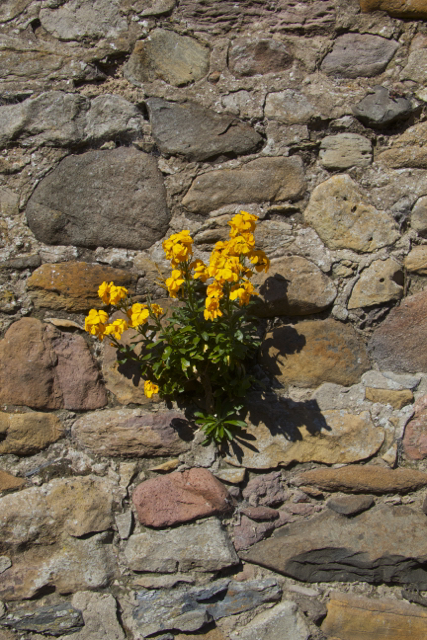 Holy Island Stone Wall