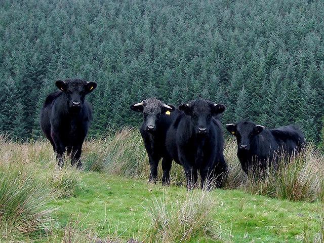 Welsh Blacks near Soar-y-Mynydd, Ceredigion