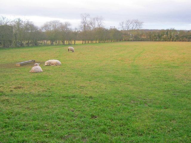 Lazy sheep at Bathley