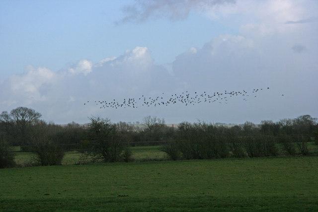 Lapwings over Thorneymoor