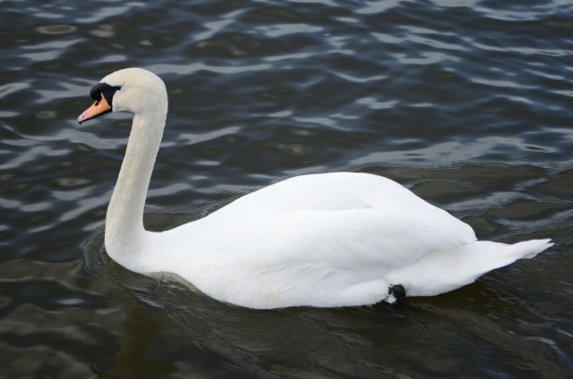 Swan - Abbey Gardens