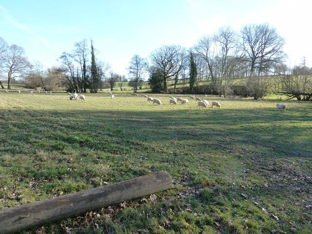 Sheep grazing alongside Pellingford Brook