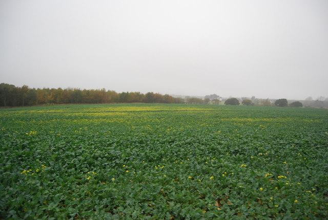 Oilseed Rape in winter