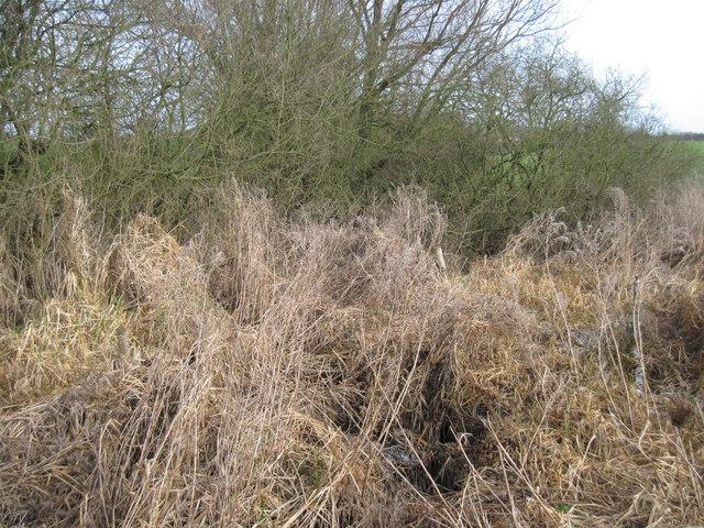 A  very  overgrown  Beck