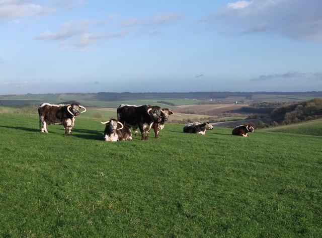 Long-horned cattle near Woodsend