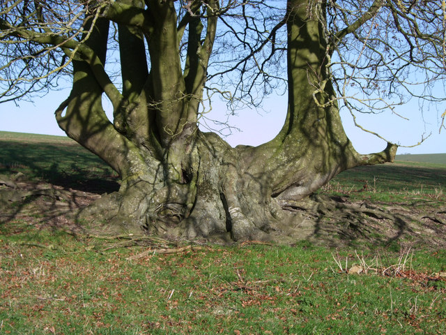 Beech roots near Giant's Grave