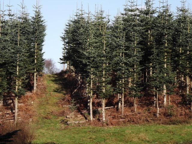 Plantation at Great Copse