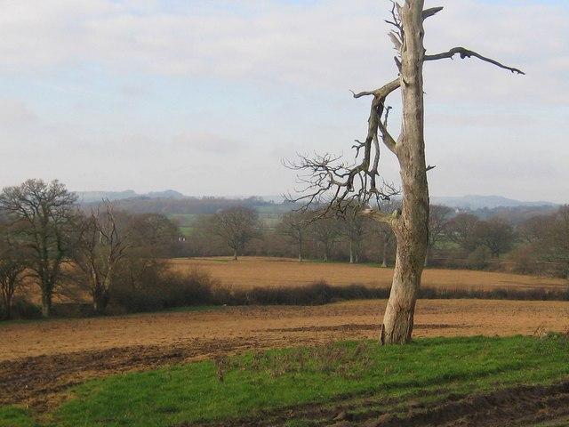 Dead tree - Marsh Farm