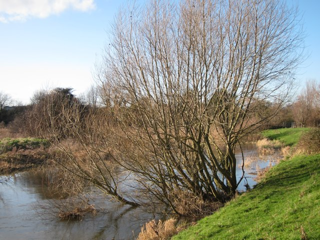 Tree in the River Stour