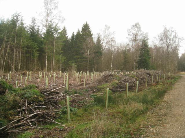 New planting - Sandford Wood