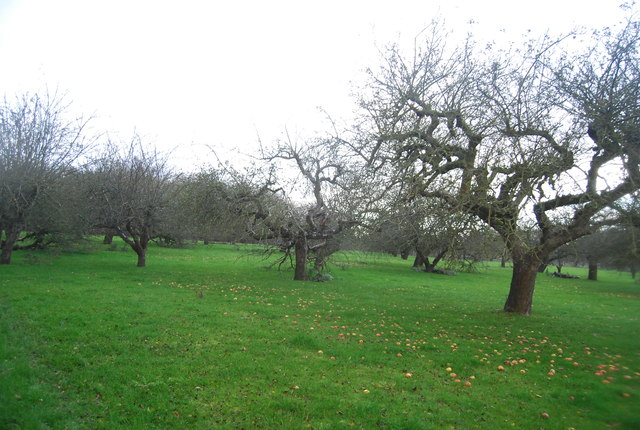 Windfalls in an orchard