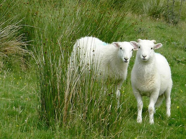 Lambs in Cwm Doethie Fawr, Ceredigion