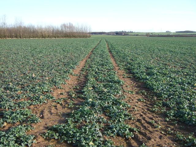 Track through crop field