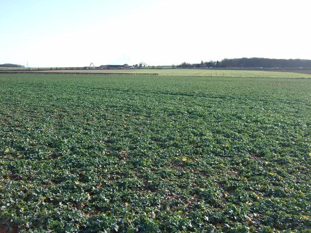 Crop field off Spen Common Lane