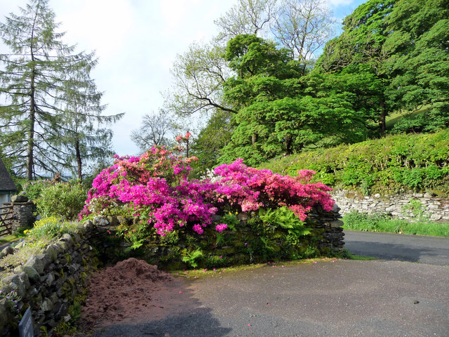 Rhododendrons and Azaleas at Troutbeck, Cumbria