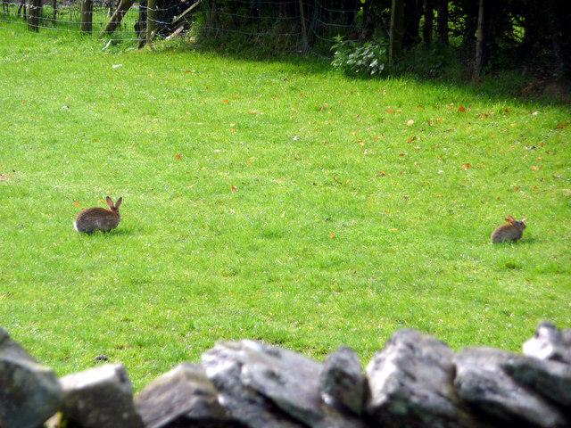 Rabbits, Troutbeck, Cumbria