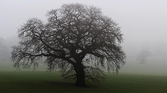 Oak tree in North Field