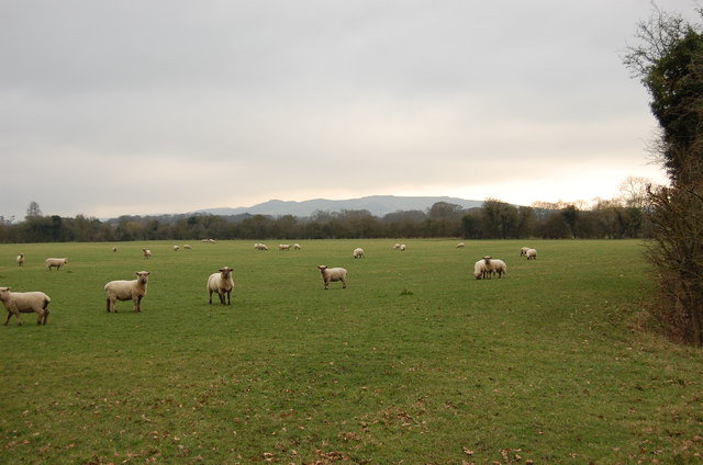 Field with Sheep, off Otham Court Lane