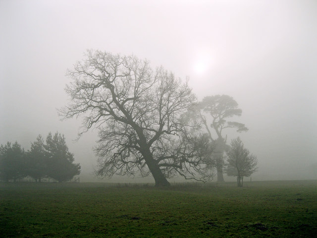 Angled oak in the mist