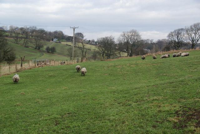 Sheep fields near Earby