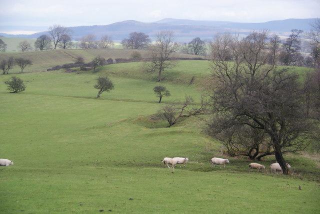 Sheep crossing near Fence Hill