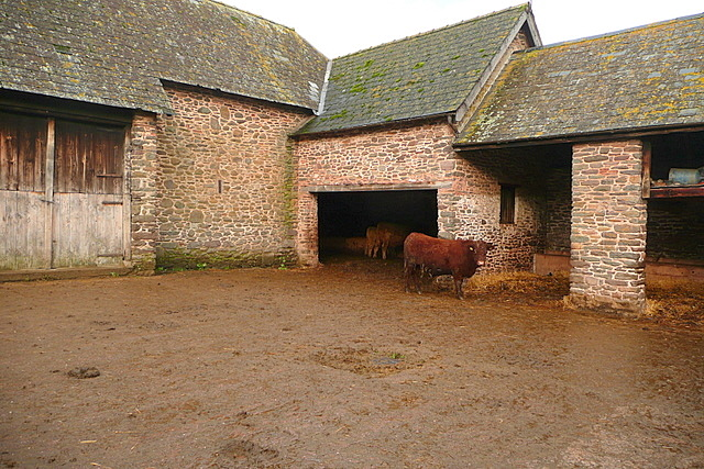Cattle at West Luccombe Farm