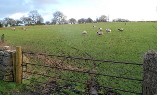 Sheep in a field near Cowbridge