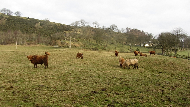Highland cattle, Craigluscar